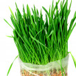 Green grass of oats — Stock Photo #36997391