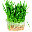 Green grass of oats — Stock Photo #36997413