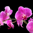 Flower orchid - phalaenopsis — Stock Photo #36998673
