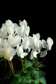 Persian cyclamen — Stock Photo