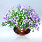 Flowers Campanula — Stock Photo