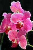 Flower orchid - phalaenopsis — Stock Photo