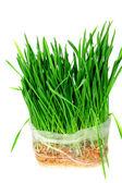 Green grass of oats — Stock Photo