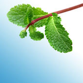 Green mint — Stock Photo
