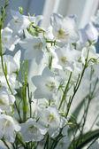 çiçekler çan çiçeği — Stok fotoğraf