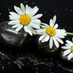 Fine flowers ox-eye daisy — Stock Photo