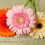 Fine flowers gerberas — Stock Photo