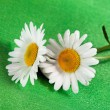Stock Photo: Fine flowers ox-eye daisy