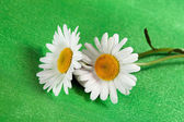 Fine flowers ox-eye daisy — Stock Photo