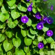 "Flowers ""morning glory"" in garden — Stock Photo"