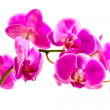 Flower beautiful pink orchid -  phalaenopsis — Stock Photo