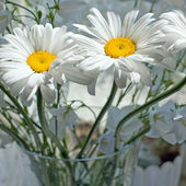 Flowers camomile, ox-eye daisy — Stock Photo