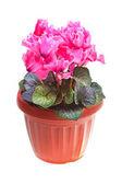 Flower pink cyclamen — Stock Photo