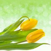 Flower tulips — Stock Photo
