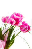 Flower tulips — Stock Photo