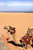Camelo — Fotografia Stock