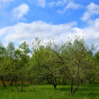 Stock Photo: Spring. Blossoming apple-trees