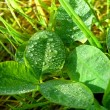 Stock Photo: Green clover