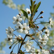 Spring. Blossoming cherry-tree — Stock Photo #37448793