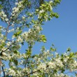 Stock Photo: Spring. Blossoming cherry-tree