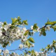 Spring. Blossoming cherry-tree  — Stock Photo