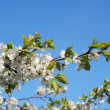 Spring. Blossoming cherry-tree — Stock Photo #37448807