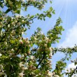 Stock Photo: Spring. Blossoming apple-tree