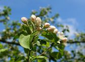 Spring. Blossoming apple-tree — Stock Photo