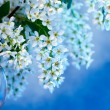 Spring blossoming  bird cherry tree — Stock Photo