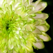 Stock Photo: Flower white- green chrizantem