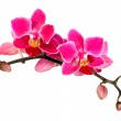 Blossoming flower exotic mini Phalaenopsis orchid — Stock Photo #37515399