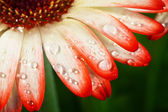 Blossoming flower gerbera with water drops — Stock Photo