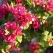 Stock Photo: Pentas Egyptistar flowers