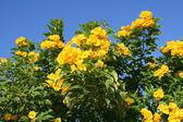 Tecoma erect Egyptian flowers — Stock Photo