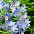 Blue flowers forget-me-not — Stock Photo #37758649