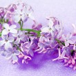 Stock Photo: Spring flowers lilac