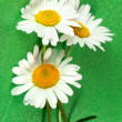 Beautiful flower ox-eye daisy — Stock Photo