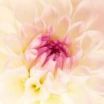 Flower white dahlia, macro shot — Stock Photo #37758809