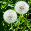 Two fluffy dandelions — Stock Photo