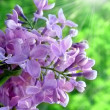Stock Photo: Lilac with sunny rays
