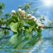 Stock Photo: Blossoming apple tree branch