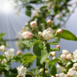 Stock Photo: Blossoming apple tree in Spring season
