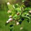 Stock Photo: Blossoming apple tree flowers