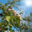 Stock Photo: Blossoming apple tree