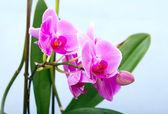 Orquídea linda flor — Foto Stock
