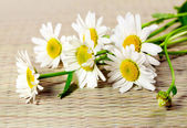 Flowers camomile — Stock Photo