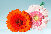 Beautiful flower gerbera — 图库照片