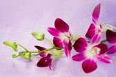 Beautiful flower Thai Orchid — 图库照片