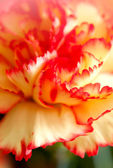Blossoming beautiful flower carnation — Stok fotoğraf