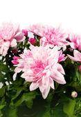 Květy chryzantém — Stock fotografie